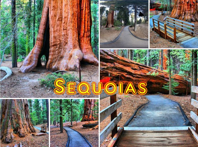 Sequoias, California