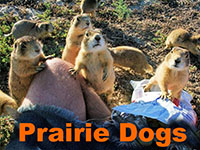 Prairie Dogs ATTACK in Wyoming